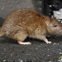 Des rats à Epinay